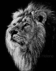 Lion | Melissa Helene Fine Arts + Photography www.melissahelene.com 8x10 #scratchboard #wildlife #lion #bigcat #artwork #blackandwhite