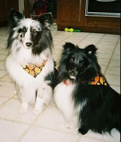Sister and Brother, Bi-Blue and Bi-Black Shelties, Cybil and Smarty