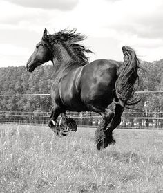 Frisian horse. Beautiful breed.