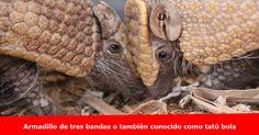 Zoologico de Omaha da la bienvenida a una cría de armadillo Más detalles y fotos >> www.quetalomaha.com/?p=5048