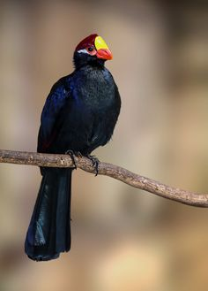 Photo Violet Turaco (Musophaga violacea) by Jean-Claude Sch. on 500px