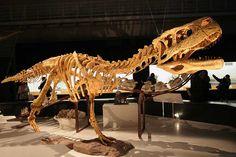 #Aucasaurus #dinosaur #theropod