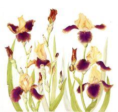 Alice Harman – The Society of Botanical Artists