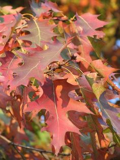 Northern Red Oak - Best Trees for Fall Foliage Autumn Flowering Plants, Fall Plants, Hedging Plants, Pond Plants, Trees And Shrubs, Trees To Plant, Plant Leaves, Red Oak Tree, Leaf Photography