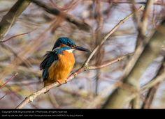 Foto 'Eisvogel auf Ast' von 'Skymountain.de'
