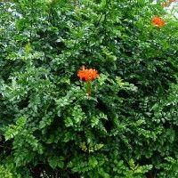Tecomaria capensis coltivazione
