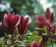 Beverboom (Magnolia liliiflora 'Nigra')