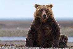 Brown Bear, Katmai NP - Alaska