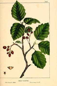 Thin-leaved Alder, alnus tenuifolia   ...