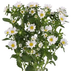 FiftyFlowers.com - Aster Flowers White - 10 Bunches (approx. 100 stems) for $109.99