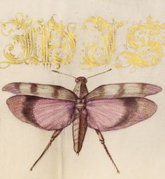 Chard Leaves and Red-Winged Grasshopper (detail), Joris Hoefnagel, Georg Bocskay, 1591-96, script 1561-62
