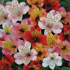 alstroemeria -my favorite cut flower.