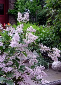 Miss Kim dwarf lilac, purchased at the Philadelphia Flower Show a few years ago and happy in a container ever since, is moved into view when blooming. PHS loves gardeners. #PHSgardening