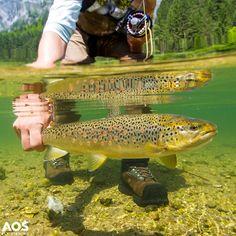 Brown Trout UW #halfhalf shot! #browntrout #salmotrutta #bachforelle #trotafario #fario #aosfishing #flyfishingmakesyouhappy #flyfishing #fliegenfischen #fluefiske #fluefiskeri #perhokalastus #vliegvissen #pescaconmosca #pechemouche #graz #styria #steiermark #austria #onlineshop #picoftheday #photooftheday #lovefishing #catchoftheday #catchandrelease #onthefly @aosfishing @simmsfishing @loop_tackle WWW.AOS.CC