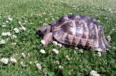 Spur Thighed Tortoise.