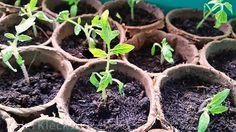 Kennt ihr das? Ihr habt eine ganz besonders leckere Tomaten Sorte und möchtet genau diese Sorte selbst anbauen. Mir ging das schon öfter so.