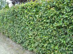 U bent op zoek naar een Fagus sylvatica (groene beuk)? Tuincentrum Maréchal! ✔ Eigen kwekerij ✔ LAGE prijzen ✔ Uitgebreide planteninformatie