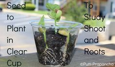 Sow seeds in a clear container to study the root and shoots!