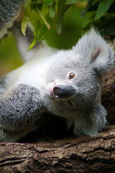 creatures-alive: Little koala by generalstussner - ABEL VERO Cute Baby Animals, Animals And Pets, Funny Animals, Wild Animals, Amazing Animals, Animals Beautiful, The Wombats, Australian Animals, Mundo Animal