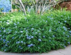 Cape Plumbago - didn't know, but it can be grown on a trellis!