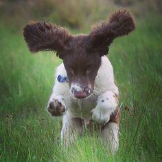 The spring. #orvisdogs #dogs