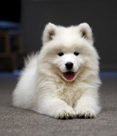 Is this a eurasier? I've never seen a white one.