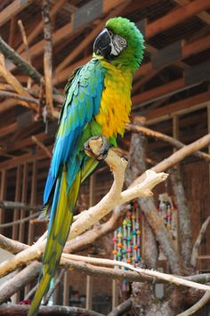 Miligold macaw (Blue and gold + Military)
