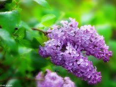 The lilacs are coming!  :)