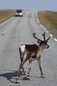 #Reindeer on the road in Trøndelag, #Norway - Photo: Terje Rakke/Nordic life/Innovation Norway