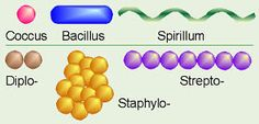 Bacteria Shapes
