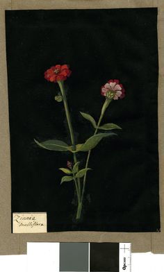 Zinnia Multiflora, from an album (Vol.IX, 100). 1779 Collage of coloured papers, with bodycolour and watercolour, on black ink background