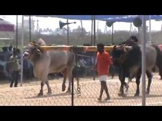 Bull Race In Vijayawada Tourist Places TOURIST PLACES : PHOTO / CONTENTS  FROM  IN.PINTEREST.COM #TRAVEL #EDUCRATSWEB