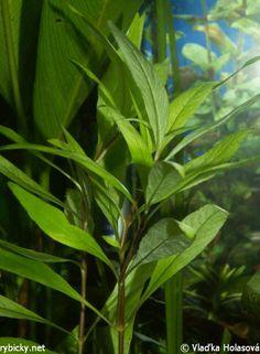 Hygrophila corymbosa 'Siamensis'   © Vlaďka Holasová uprostred nebo vzadu, 20 - 26 st. Plant Leaves, Aquarium, Plants, Aquatic Plants