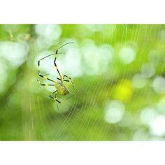 【nr.113】さんのInstagramをピンしています。 《昼休みの日課は歯磨きしながらその周辺を観察することなのですが、この前投稿したジョロウグモが何かせかせかと動いておる、、! 見てみると足でちょいってつけながら巣網張ってました!!! 初めて見たよ~~ ちょいって付けるんや~✨って感激しました(笑)  #ジョロウグモ #女郎蜘蛛 #クモ #蜘蛛 #spider #Nikon #D7100 #自然 #巣 #森 #生き物 #naturephotography  #nature》