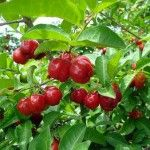 Acerola Cherry: Can It Fight Disease?