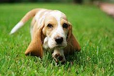 basset hound puppies - Google Search
