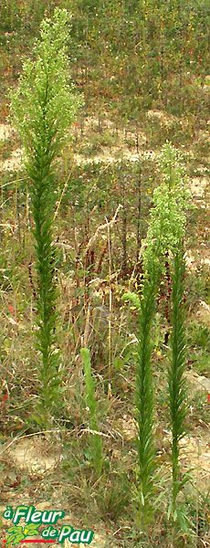 Conyza canadensis - kanadai betyárkoro asteraceae