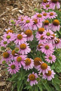 New for 2012* ECHINACEA \'Little Annie\' (purpurea) PPAF - Échinacée - Coneflower