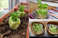 Lettuce, Cabbage and Bok Choi Regrow From Kitchen Scraps Culture Tomate, Growing Power, Troubles Digestifs, Organic Recipes, Ethnic Recipes, Growing Veggies, Comfort Food, Eating Organic, Fresh Fruits And Vegetables