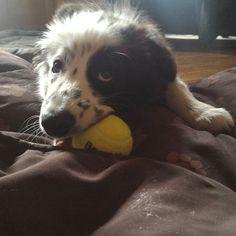 #Finlay #bordercollie #collie #dogs #Hund #Welpe #puppies #dogstagram #dogsofinstagram #loved #adorable #cute #puppy #dog #bordercolliesofinstagram #borderfame