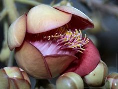 The unusual blossom of the cannonball tree (couroupita guianensis) Botany, Oc, Floral, Flowers, Plants, Nature, Beauty, Flora, Cosmetology