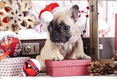 Happy New Year french bulldog, year of dog, Christmas creative, New Year xmas, Christmas Christmas Puppy, Christmas Animals, Christmas Cats, Bulldog Wallpaper, Cute Cat Wallpaper, French Bulldog Puppies, Dogs And Puppies, Baby Animals, Cute Animals