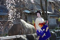 March 2016: geiko Ryouka of Gion Higashi under cherry blossoms