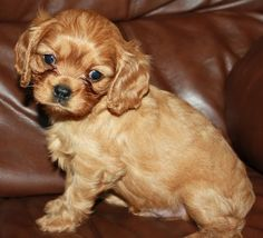 Beautiful Ruby Cavalier King Charles puppy!