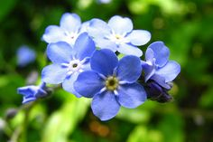 Forget-Me-Not a flower with the scientific name of (Myositis scorpioides) !!!