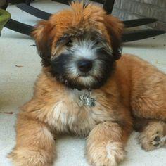 Wheaten Terrier puppy... Stella :)