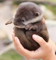 "The very awesome Stephen Fry shares a photo of a baby otter on Twitpic! ""Say hello to a baby otter on Twitpic"" Cute Baby Animals, Animals And Pets, Funny Animals, Wild Animals, Exotic Animals, Exotic Pets, Unusual Animals, Zoo Animals, Animal Pictures"