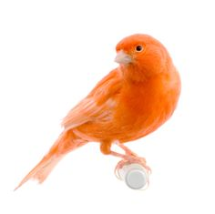 Canaries - These Songbirds are a Top Choice for Bird Owners