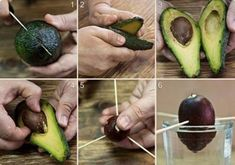 How to grow avocado trees from seeds. How to Grow an Avocado Tree from Seed Indoors. Avocado trees grown indoors are beautiful. How to grow avocados - A-Z. How to make… Avocado Plant, Avocado Seed, Container Gardening, Gardening Tips, Organic Gardening, Growing An Avocado Tree, Comment Planter, Nutrition, Healthy Fruits