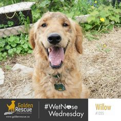 Happy #wetnosewednesday from Willow 1355. Smiles are the good kind of contagious so go ahead and pass one on. #goldenretriever #rescuedog #secondchance #adoptdontshop Happy Girls, Rescue Dogs, Animals, Smile, Animales, Animaux, Animal, Animais, Laughing